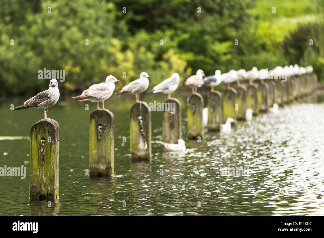 London, UK. 21st May, 2014. Common gulls on a row in Hyde Park, London, UK on Wednesday, 21 May 2014 Credit:  Cecilia Colussi/Alamy Live News - Stock Image