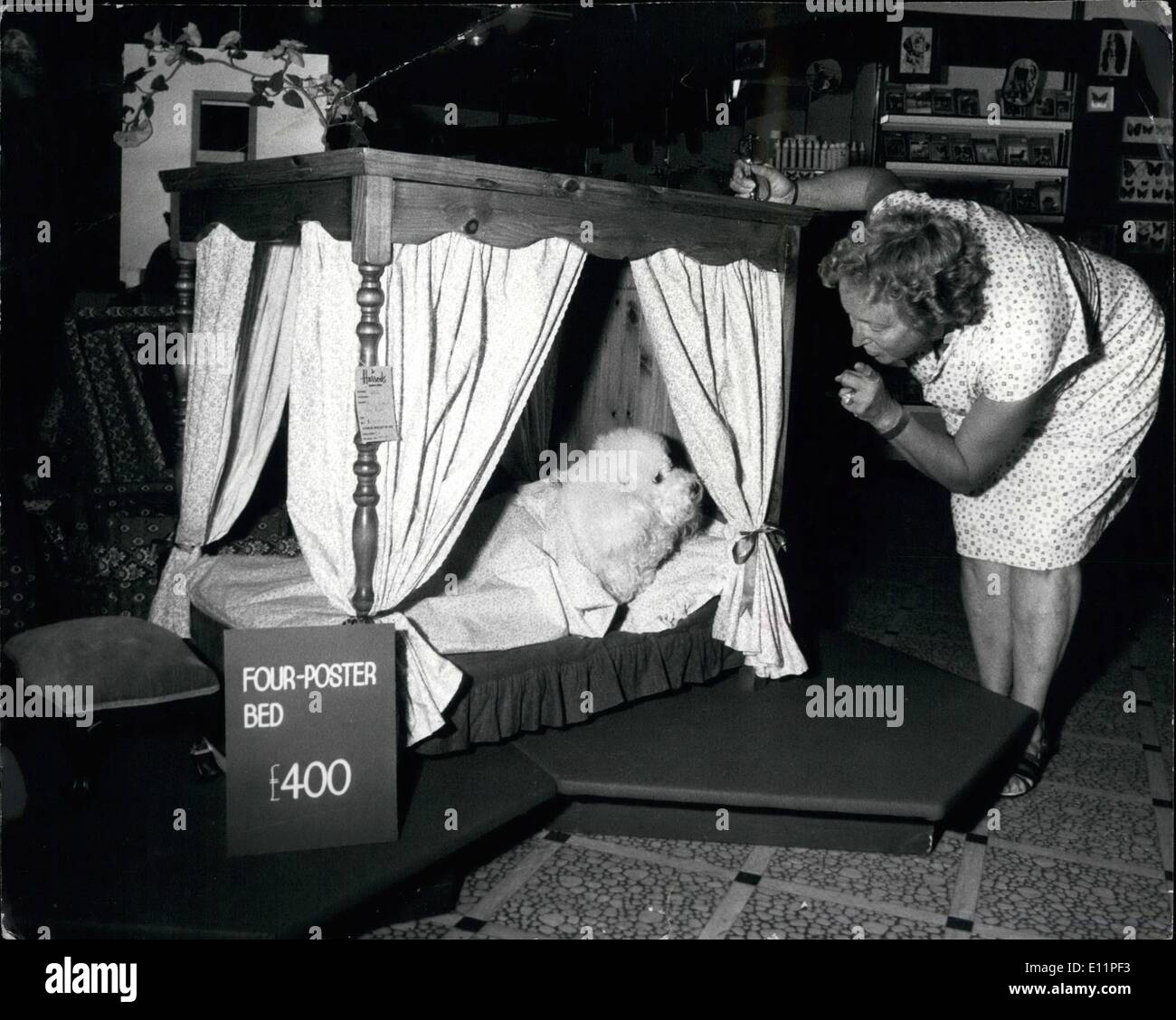 Aug. 08, 1979 - £400 Four-poster for pet dog: A dog's life is just a dream for ''Canto'' a prize Bichon Frise, when its owner Mrs. Pauline Block of Whitchurch, Hants, called in at Harrods Pet department to see if her pet dog would feel happy with such a special four-poster bed at £400, Canto did and make himself at home, so now he can sleep in luxury. Photo shows Mrs. Pauline Block looks on as her prize Bichon Frise dog 'Canto' makes himself at home on his new bed. - Stock Image