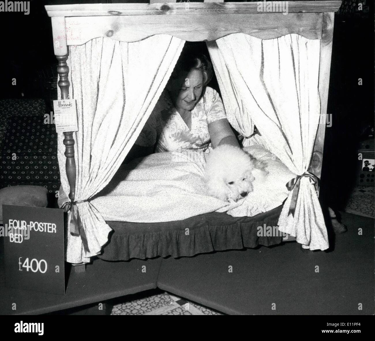 Aug. 08, 1979 - £400 Four-poster for pet dog: A dog's life is just a dream for ''Canto'' a prize Bichon Frise, when its owner Mrs. Pauline Block of Whitchurch, Hants, called in at Harrods Pet department to see if her pet dog would feel happy with such a special four-poster bed at £400, Canto did and make himself at home, so now he can sleep in luxury. Photo shows 'Canto' tries out a four-poster bed at Harrods Pet department for size. - Stock Image
