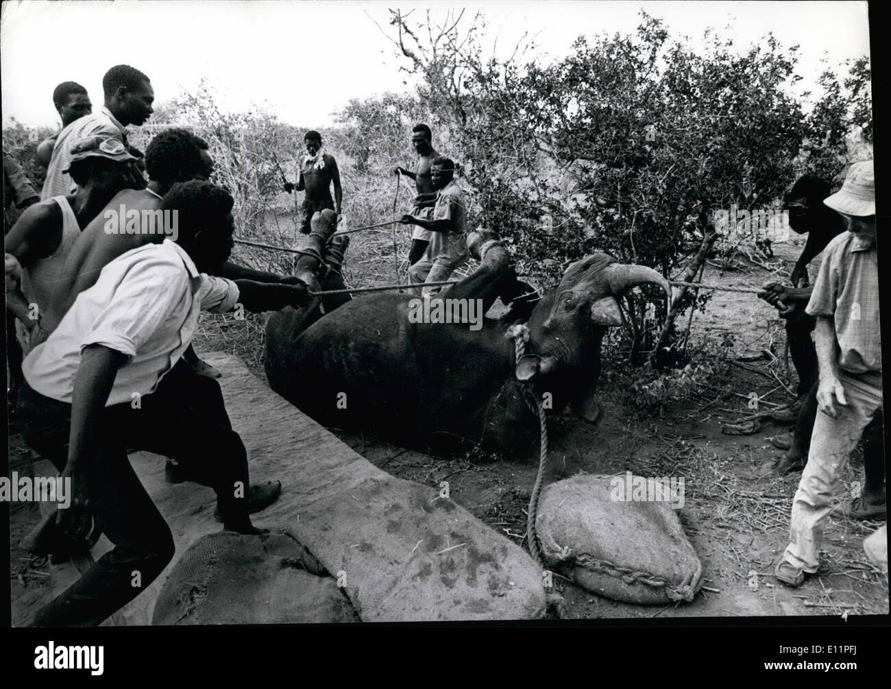 Aug. 08, 1979 -  Transocation in the '60s was funded by the East African Wild Life Society and World Wildlife - Stock Image