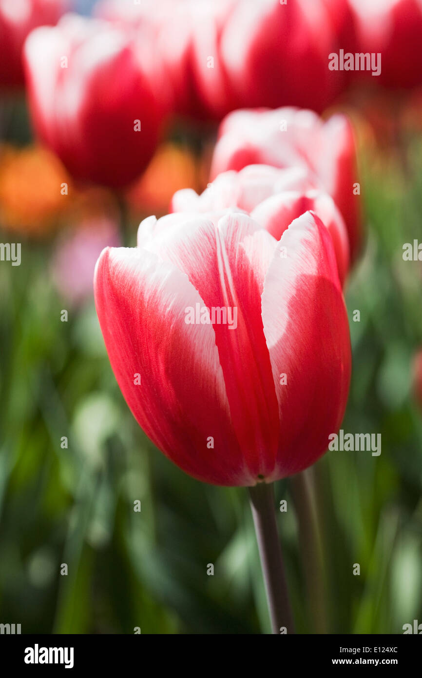 Tulipa 'Timeless'. Red and White Tulip in a Spring garden. - Stock Image