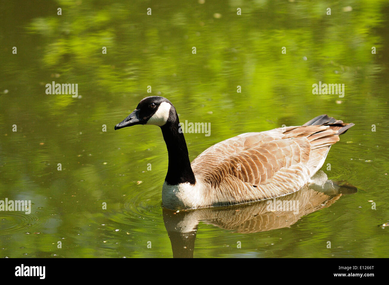 Canadian goose on river channel.  (Branta canadensis) - Stock Image