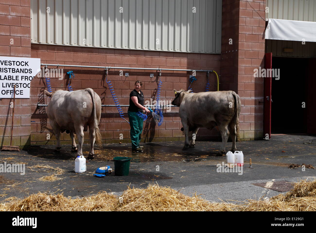 Exeter, Devon, UK. 21st May, 2014. Sprucing up the cattle ready for tomorrow's show  Devon County Show Press Preview Day Credit:  Anthony Collins/Alamy Live News - Stock Image