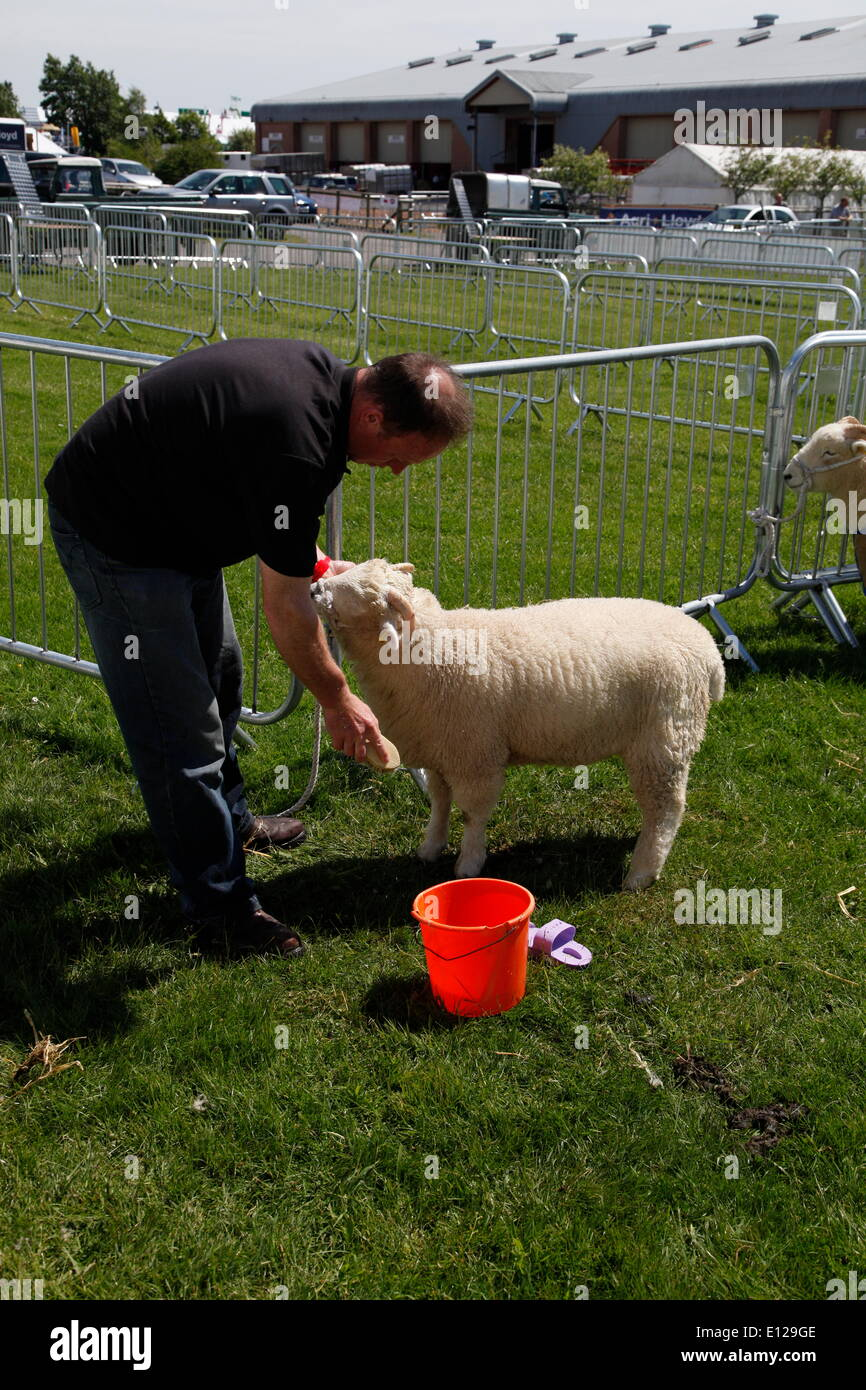 Exeter, Devon, UK. 21st May, 2014. Sprucing up a lamb for showing  Devon County Show Press Preview Day Credit:  Anthony Collins/Alamy Live News - Stock Image
