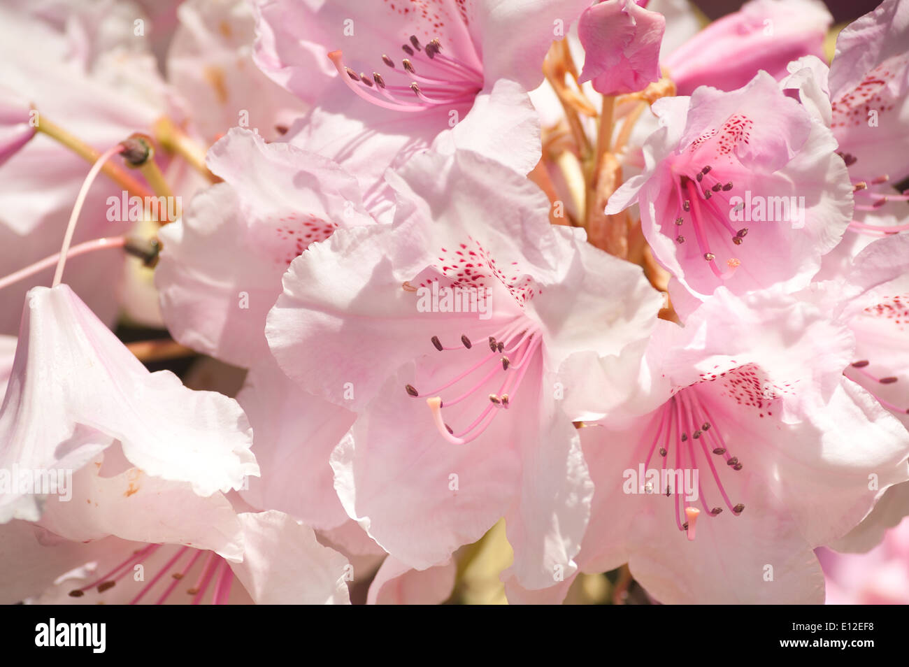 Abundant masses of delicate large blossom pale pink and white stock abundant masses of delicate large blossom pale pink and white rhododendron azalea flowers mightylinksfo