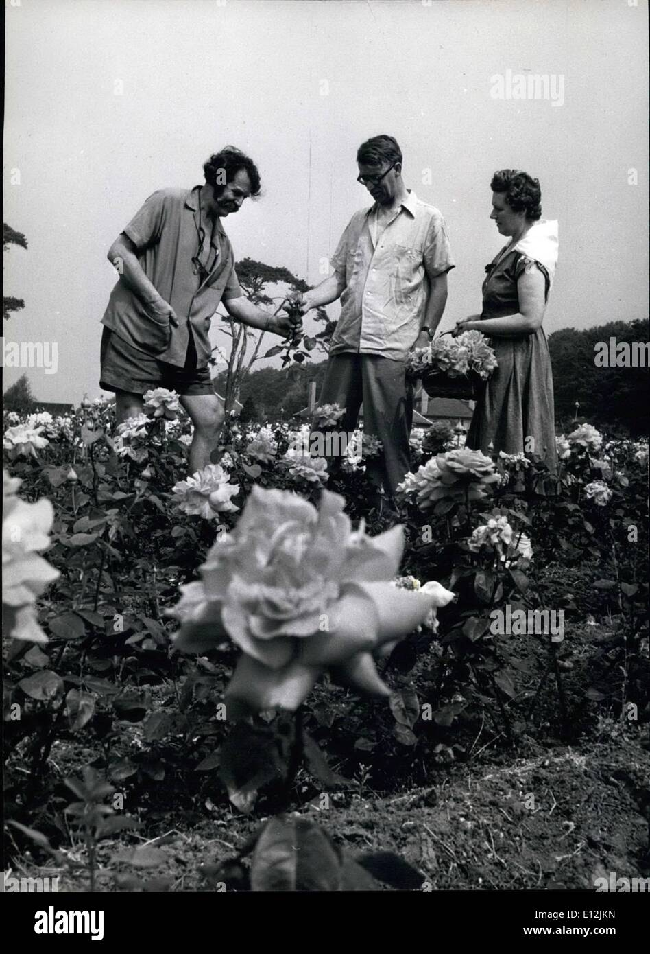 Feb. 24, 2012 - Subject under discussion- Roses: In one of the many fields of roses at Ruddington, Harry Wheatcroft and his brother Arthur and Arthur, and Arthur's wife,discuss the finer points of rose- growing. - Stock Image