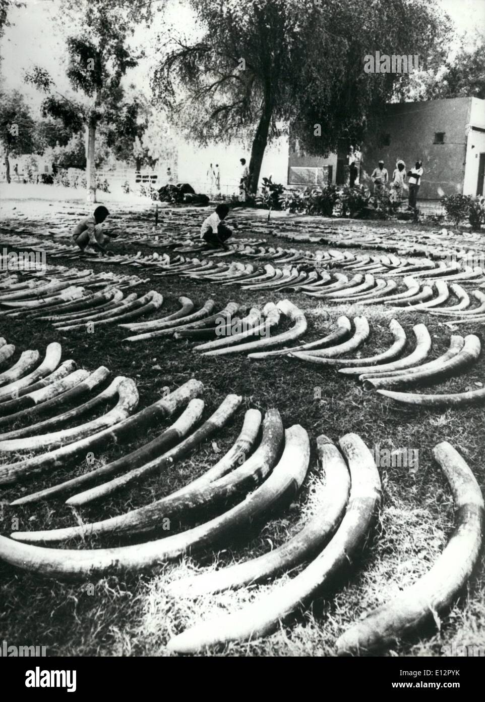 Feb. 25, 2012 - Ivory Fortune Found at Port Sudan: at the Sudanese Port Sudan, the police found 11.9 tone of Ivory,which is valued at around one million dollars. They were already crated up for shipment abroad, but this time the amugglars lost out.For those 2362 elephant tuaka layed out on a lawn 1,181 elephants had to die. Later the ivory will be sold at the Sudan capital of Khartum. - Stock Image