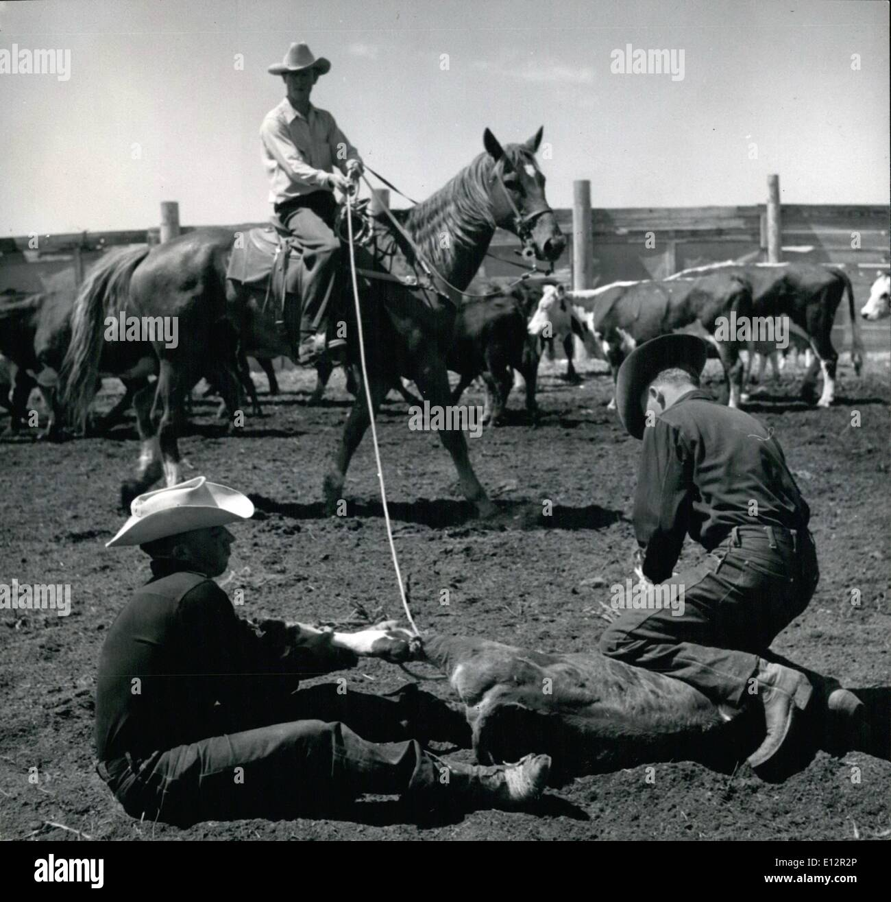 Feb. 24, 2012 - Cowboys expertly wrassle struggling 100-lb calf. One grabs left hind leg, the other the rope then both heave the calf so that it is lying on its right side. Well-trained horse keeps rope taut until it is loosened. Calf is kept immobile by one cowboy kneeling on neck while other holds tightly on to left hind leg, meanwhile pushing right hind leg forward with his boot to keep it from kicking. - Stock Image