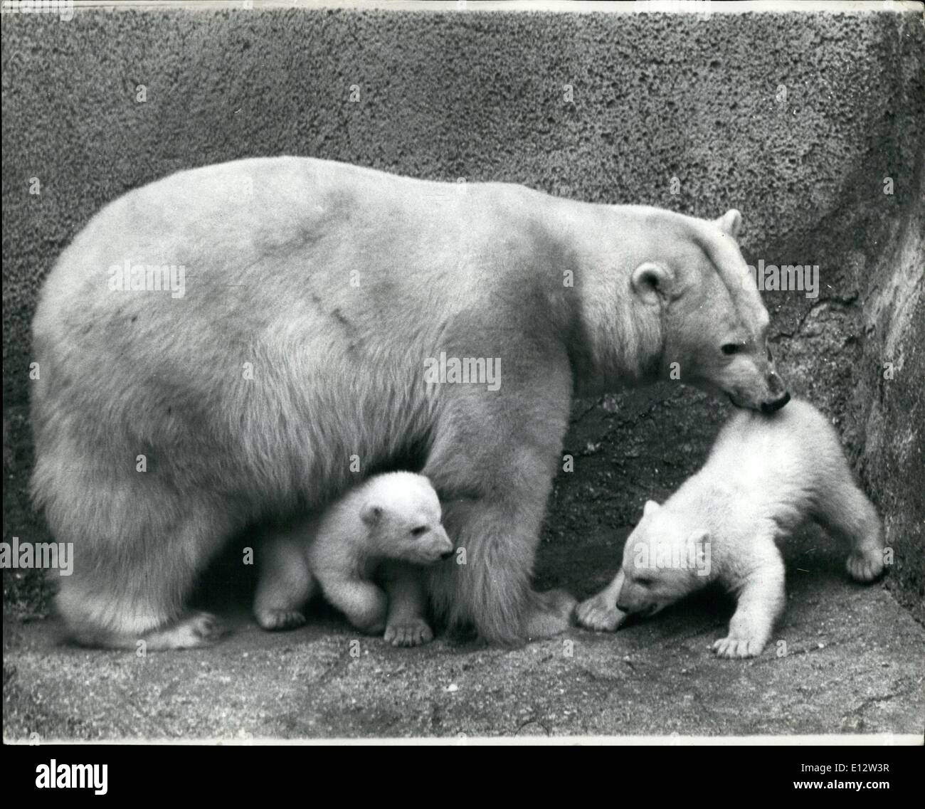 Feb. 25, 2012 - Undignified But Effective: Making their first public appearance at Whipsnade Zoo today were the twin female polar bear cubs Tiyak (she bear) and Tineak (little one who walks to the sea) who were born to Nanook and Maya, 12 weeks ago. Photo shows One of the cubs got into difficulties at the bottom of a large step and couldn't climb up. After a little thought, mother Maya reached down and picked the cub up the the ''seat of her pants''. The other cub takes refuge under Maya in case she comes in for some of the same treatment. - Stock Image