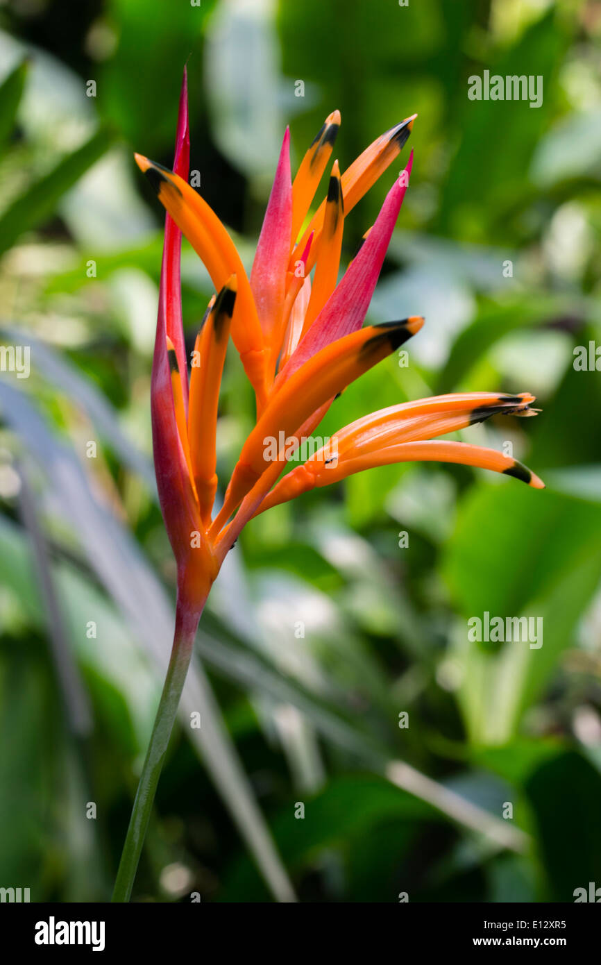 Flower head of the tropical Heliconia psittacorum 'Andromeda' - Stock Image
