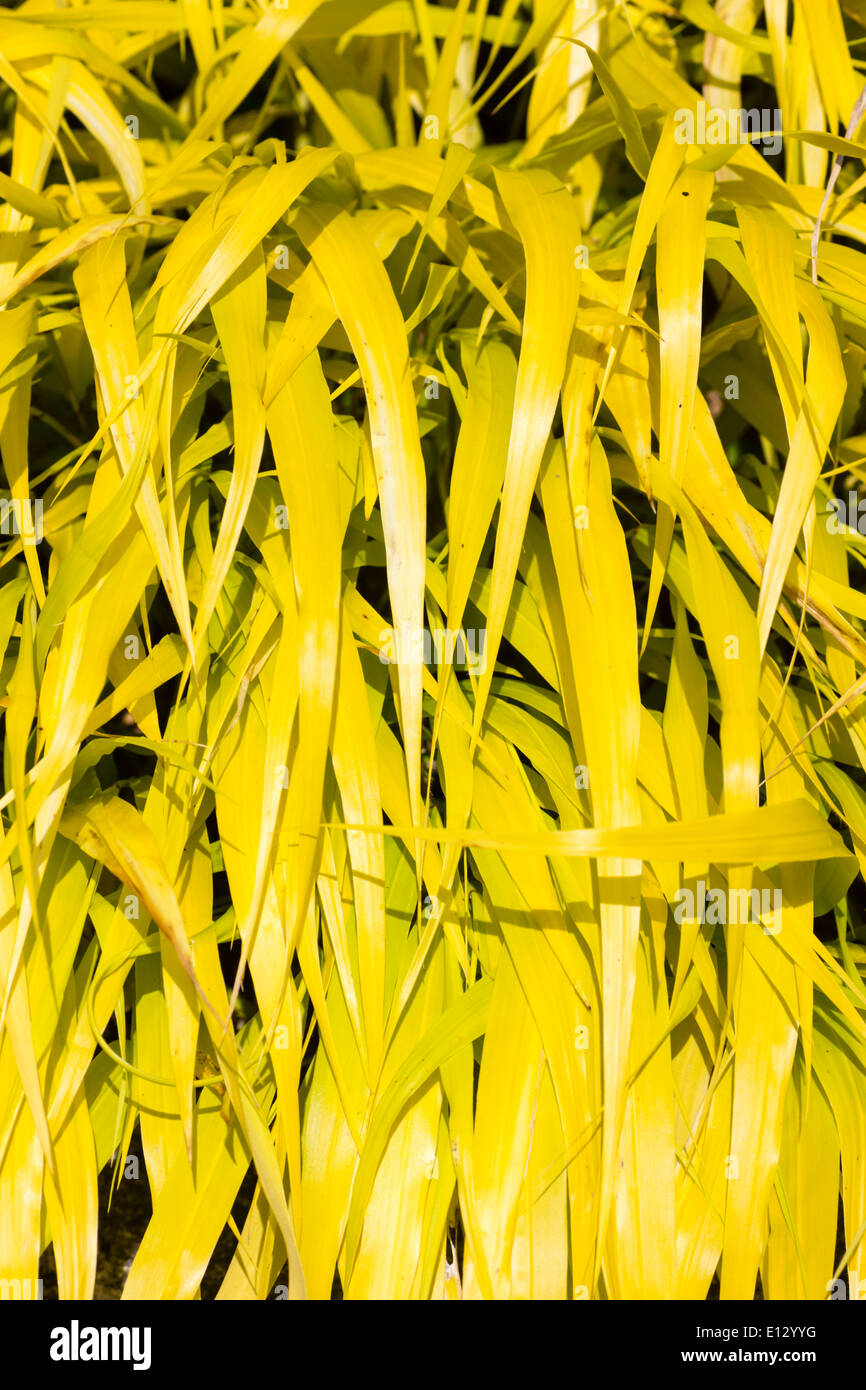 Bright golden leaves of the Japanese forest grass, Hakonechloa macra 'All gold' Stock Photo