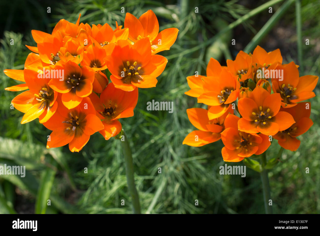 Bright orange flowers of the tender South African bulb, Ornithogalum dubium - Stock Image