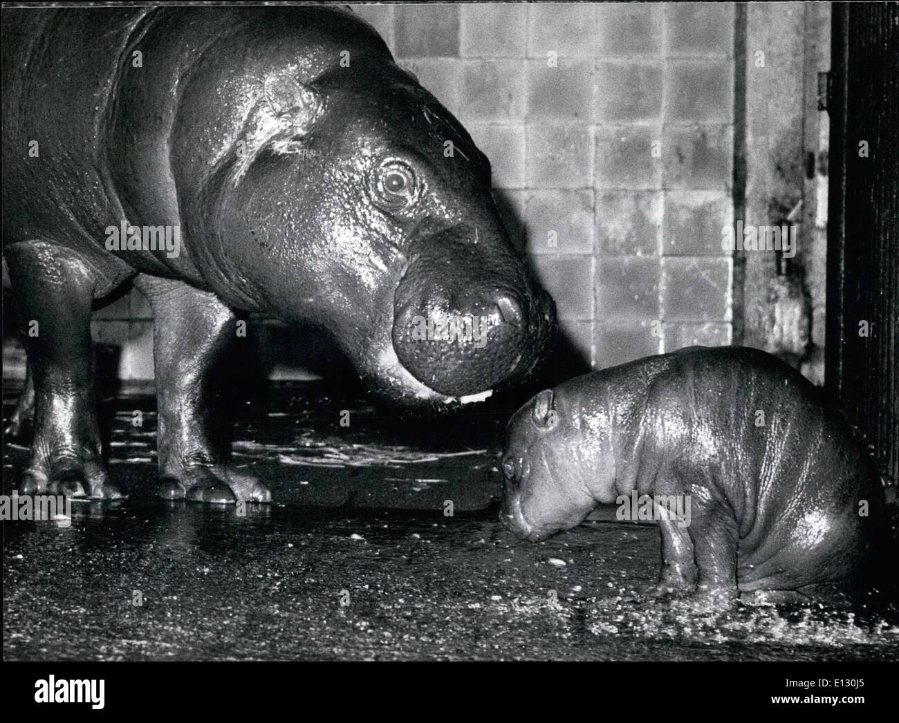 Feb. 26, 2012 - Young Dwarf Hippopotamus at the Munich Zoo.: It looks rather contrite, the new born dwarf hippopotamus at the Munich Hellabrunn zoo, for it seems if it's being lectured by it's mother. Could it be, that the small one has been too eager to be photograhed? For it's mother ''Fanta'' doesn't like it at all, when strangers come near her baby, then she gets very nervous. And that's exactly what the keepers of the zoo are afraid of, for not very long ago, a little hippo was bitten to death by it's nervous mother ''Coco'' - Stock Image