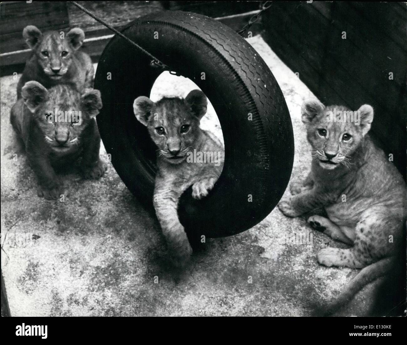 Feb. 26, 2012 - Play-time for the cubs - and an old tyre gives them much amusement. - Stock Image