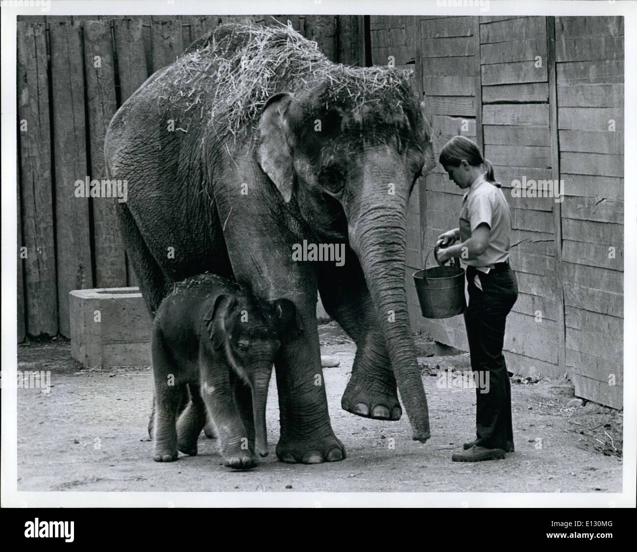 Feb. 26, 2012 - Baby and Mommy Elephant during their feeding time. - Stock Image