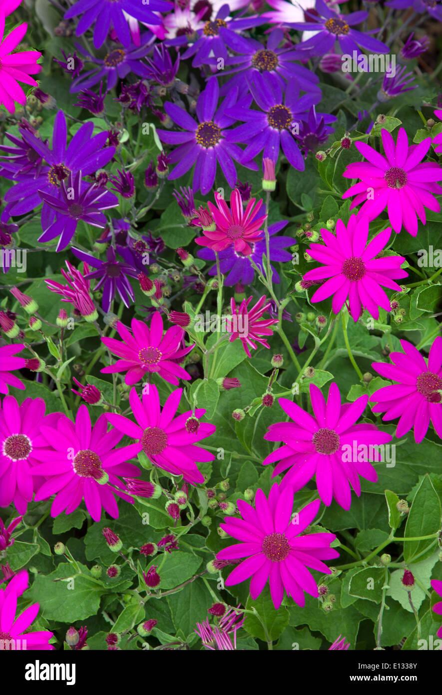 Pericallis Senetti Flowering in Spring Norfolk - Stock Image