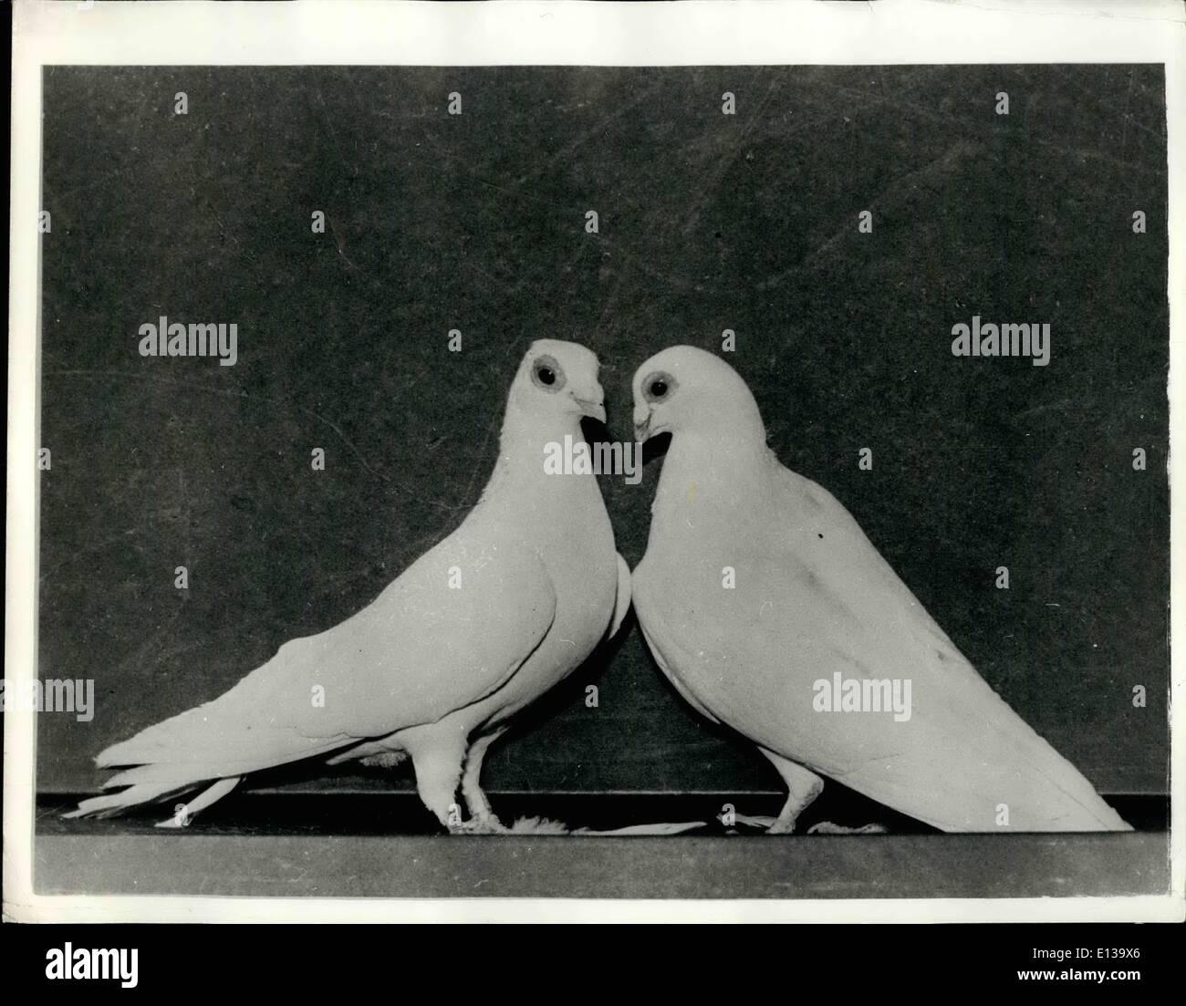 Feb. 29, 2012 - Soviet Scientists Cultivate New All White ''Dove Of Peace'': The soviet expert have managed to cultivate a real - Stock Image