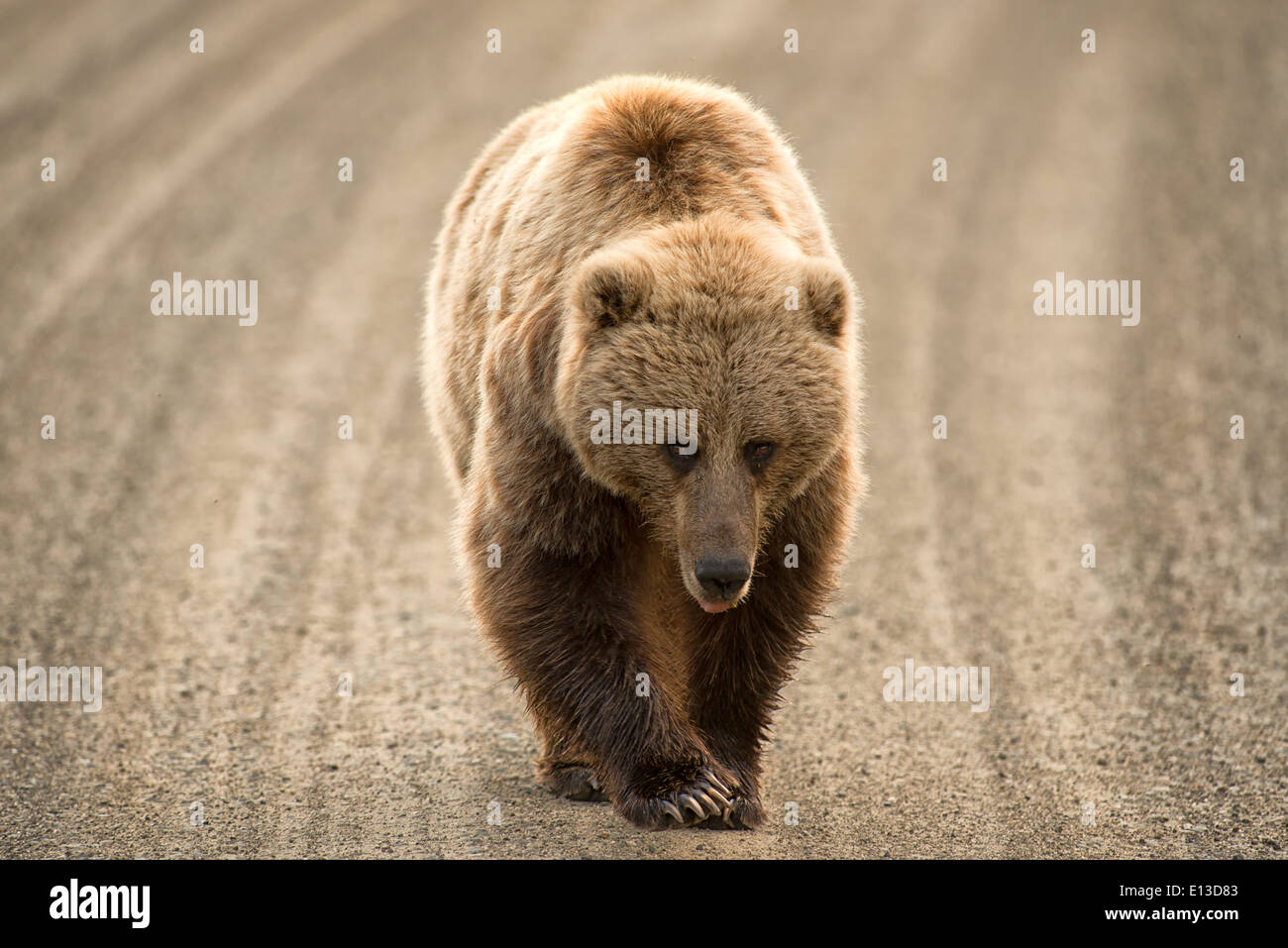 Grizzly bear walking - photo#48