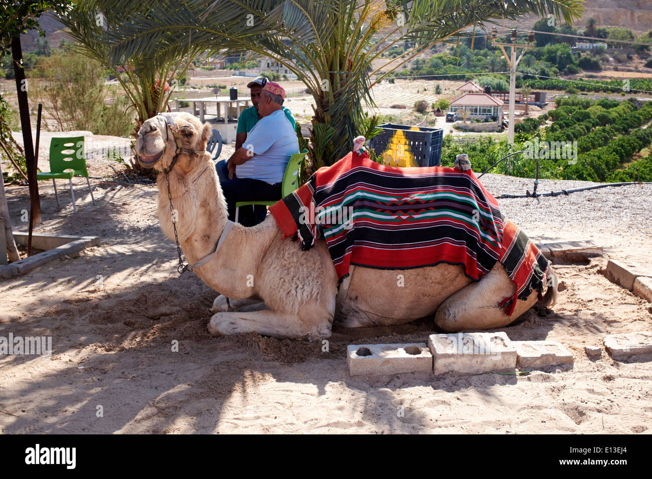 Camel waiting to give rides to tourists, Jericho, Israel, West Bank - Stock Image
