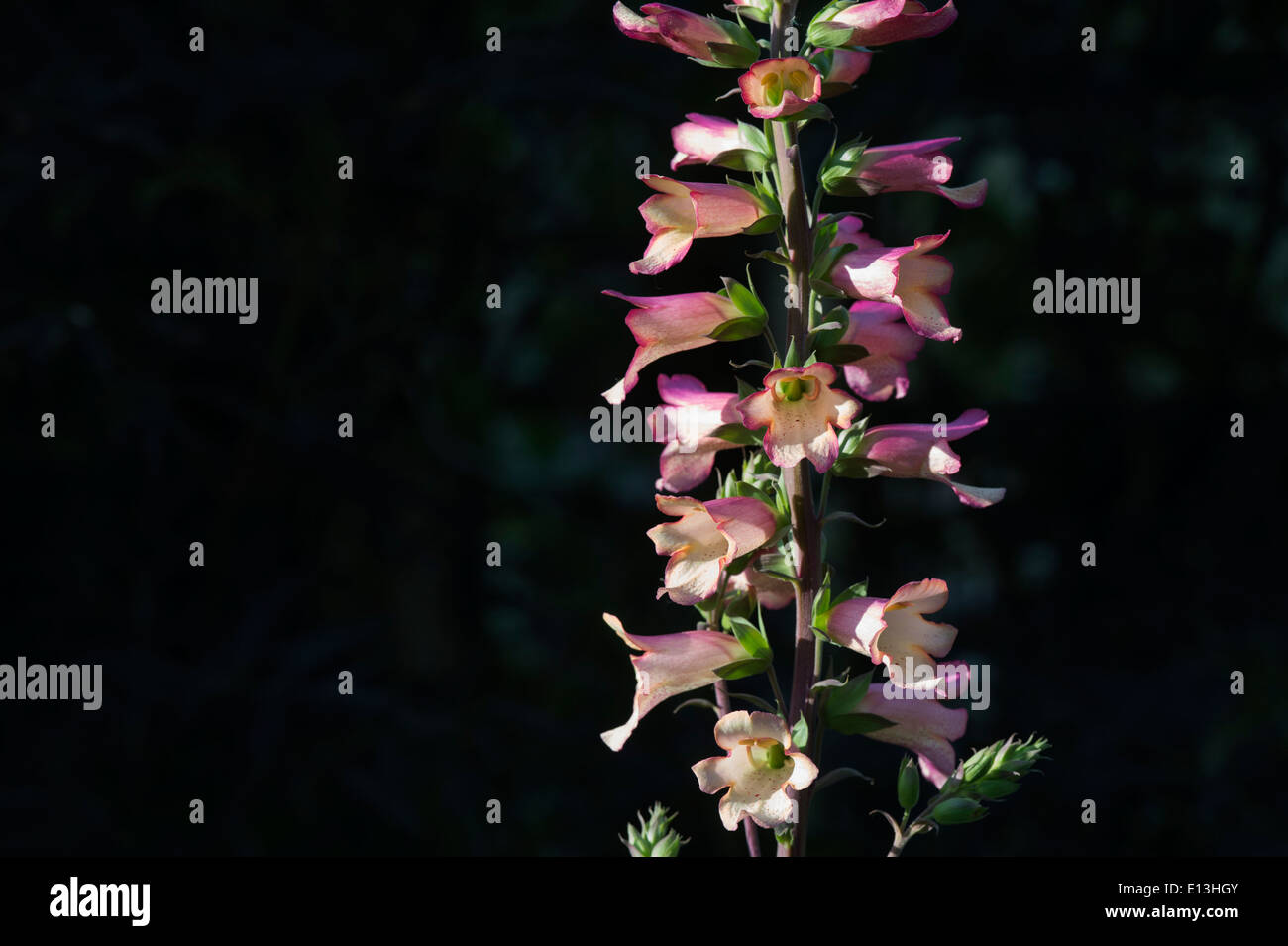 Digitalis Illumination Pink. Hybrid Foxglove - Stock Image