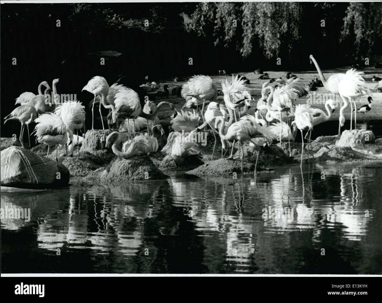 Mar. 02, 2012 - Slowly they feel like home in southern regions the flamingos in the Hamburg/ West Germany zoo Hagenbeck. The first warm days were greeted by the whole flaming family. At this occasion the feathers got muffled and the first stalky steps into the water got done. The visitors saw a picture like in the Cam argue in Southern France, the home of the pink flamingos. - Stock Image