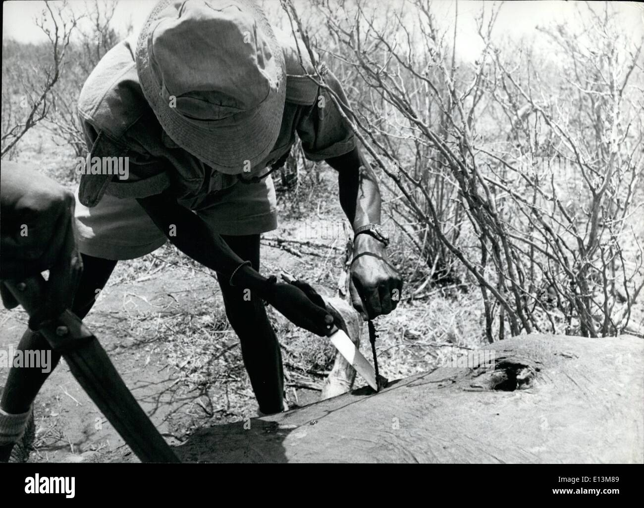 Mar. 02, 2012 - Govt. against poachers. Tsavo Natl. Pk. Kenya. A field force askari extracts the poisoned arrow that killed the elephant probably after days of agony. The dark mark at the right is the elephant's eye. - Stock Image