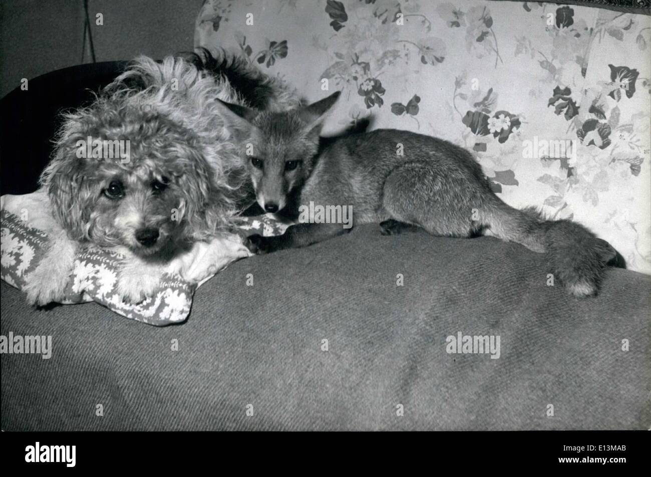 Mar. 02, 2012 - The domesticated fox; They're jolly good pals, even if they don't look so well-disposed - Stock Image
