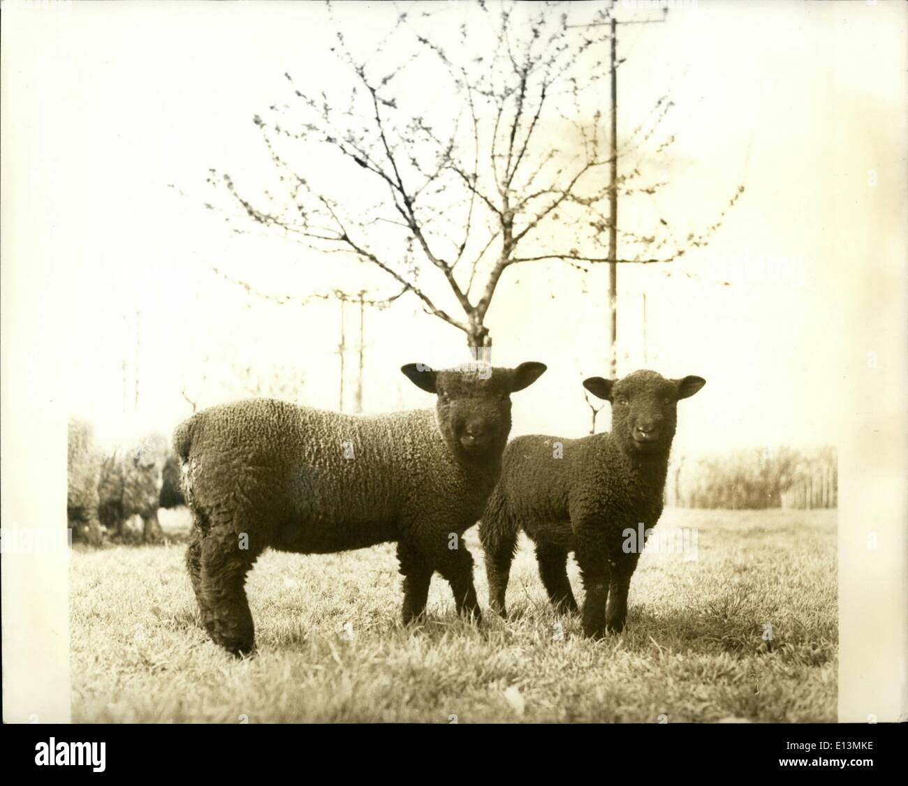 Mar. 02, 2012 - A Posed Shot: These two black Spring lambs make a pretty picture as they pose for the photographer. - Stock Image