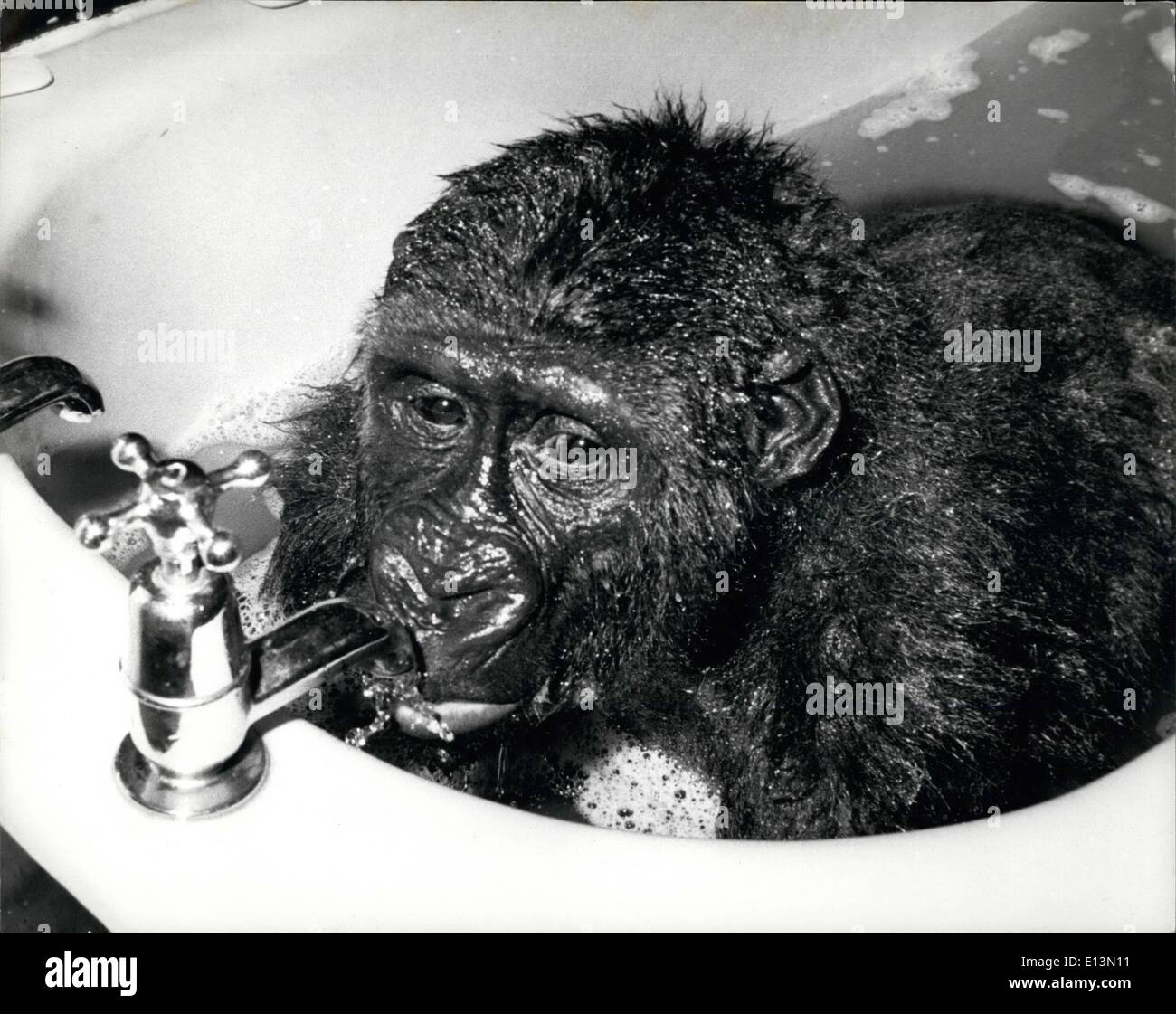 Mar. 02, 2012 - Gorilla getting a sip of water while in his bath. - Stock Image