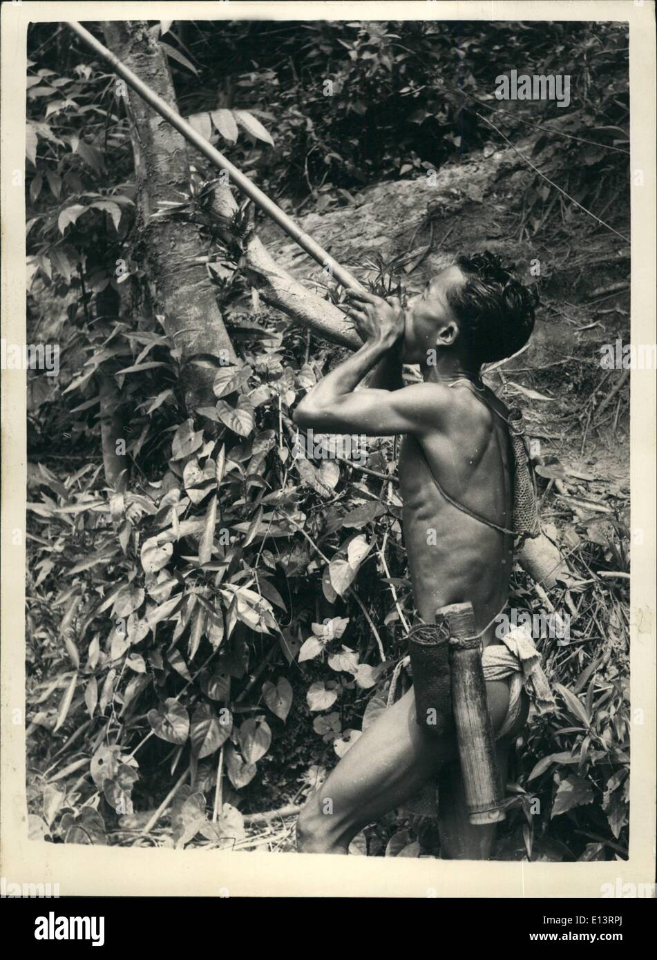 Mar. 27, 2012 - The blow-pipe is still favourite weapon of the Malaya Aborigine.: Malaya is one of the few parts of the world which has communities of true pigmy people - aborigines. In the dense jungle areas which still provides cover for the terrorist bands these tiny primitive people live their lives - very much as they have been doing for a thousand years or more. Photo shows although some of the manfolk have been shown how to use firearms by anti-terrorist forces -0 his favourite weapon is still a poison dart and blowpipe. It is silent - accurate and very lethal - Stock Image