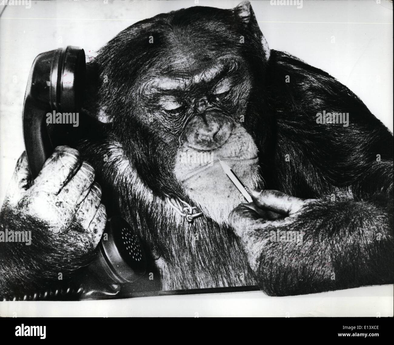 Mar. 27, 2012 - ''Oh, Madame, I regret: There is no possiblity for a for a reservation this evening at the well known Hansa Theatre in Hamburg, says Timmy the Chimp who took over the booking office while the booking clerk went to lunch. - Stock Image
