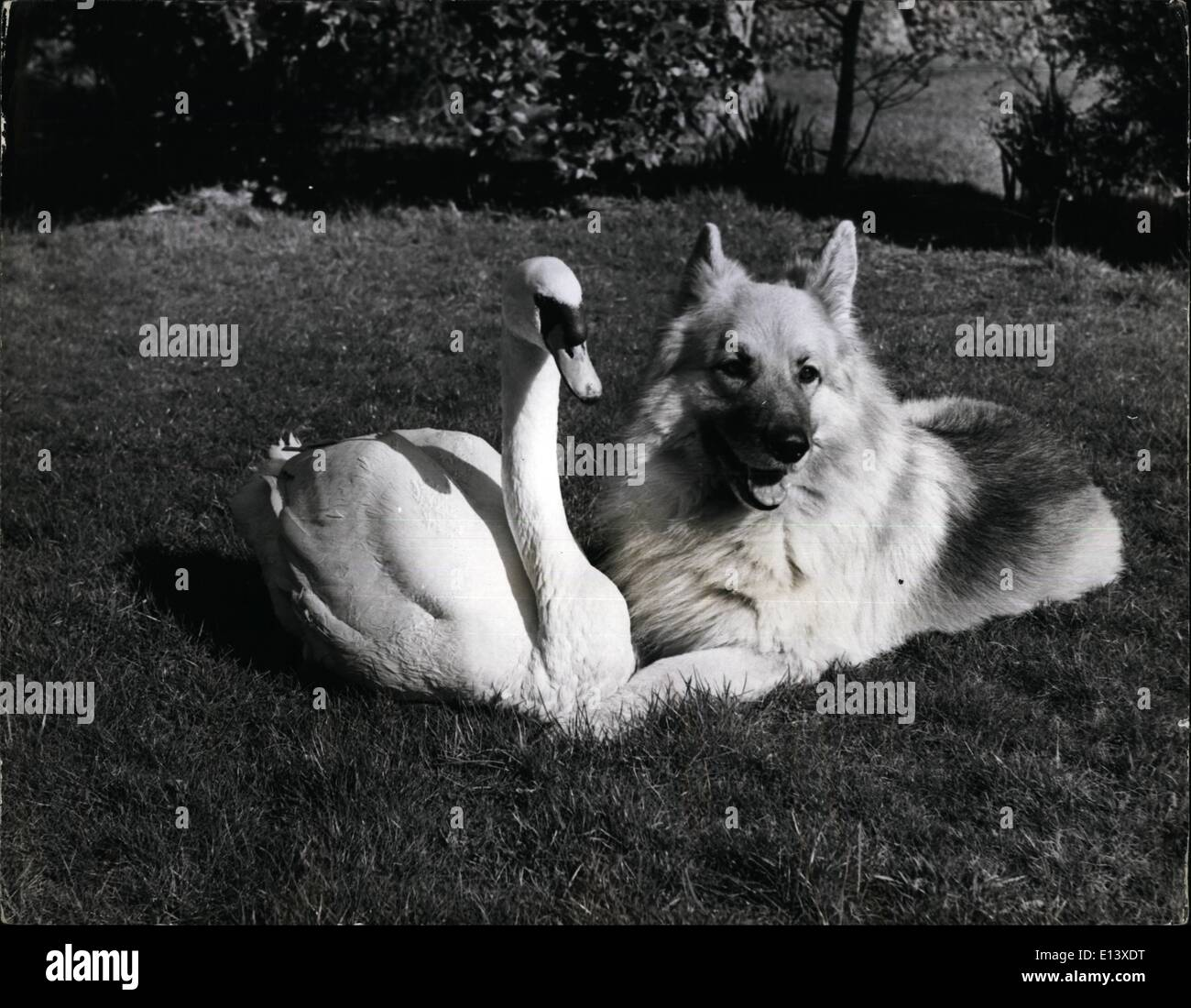 Mar. 27, 2012 - In normal circumstances any dog which gets within pecking range of swan is asking for trouble. But Pavlova the swan and Pasha the Alsatian have been friends since both were very young. Pavlova, as a tiny cygnet, was found by an R.S.P.C.A. inspector floundering in the water, She had apparently fallen off her mother's back, and had been abandoned. He took her to a bir-0care expert, Brenda Marsaulyt, who at her home in Budleigh Road, Exmouth, Devon, looks after 150 rescued, injured, or abandoned birds. At that time Pasha was only a pup - Stock Image