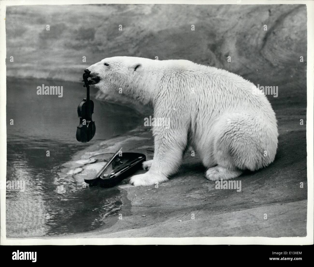 Mar. 27, 2012 - Freda Te Fiddler has Many Strings To Her Bow: Freda the polar bear was a bit non-plussed when faced with a long, black wooden box. This needed looking into. Getting the box open was quite a problem and she didn't manage it until she had taken it into the water with her. What she did discovered having opened it, was a violin and Freda being a musically minded bear, proceeded to play. And what did Freda plan? Why the Water Music suit, of course, and for an encore? probably Night on the Bear Mountain! Ah, now, that's what was in the box, this strange, waited bit of wood - Stock Image