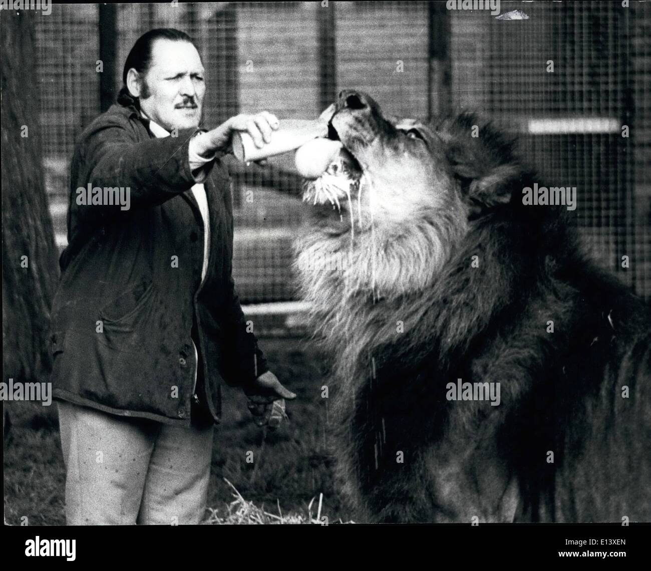 Mar. 27, 2012 - Simba, the world's largest lion, consumes 10 pints of milk besides his daily meat ration. TableStock Photo