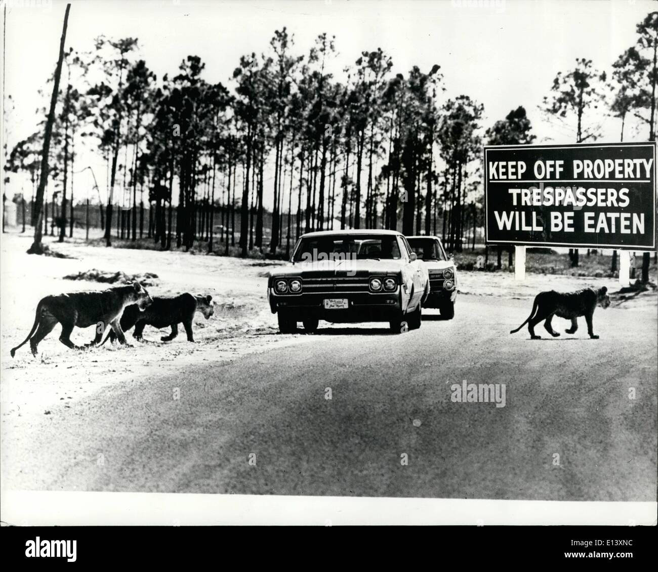 Mar. 27, 2012 - Signs warn ''trespassers will be eaten'' as new Lion preserve opens; Motorists near Royal Palm Beach, Florida, are being warned to keep in their cars as they drive through a newly opened attraction called Lion Country Safari. Biggest of its kind in the world, the 640 acre site has been designed and stocked as an African jungle at a cost of well ever 1,000,000. Britain's famous see director Richard Chipperfield is involved in the reserve which clearly warms drivers against the possibility of being eaten if they venture out of their cars. - Stock Image