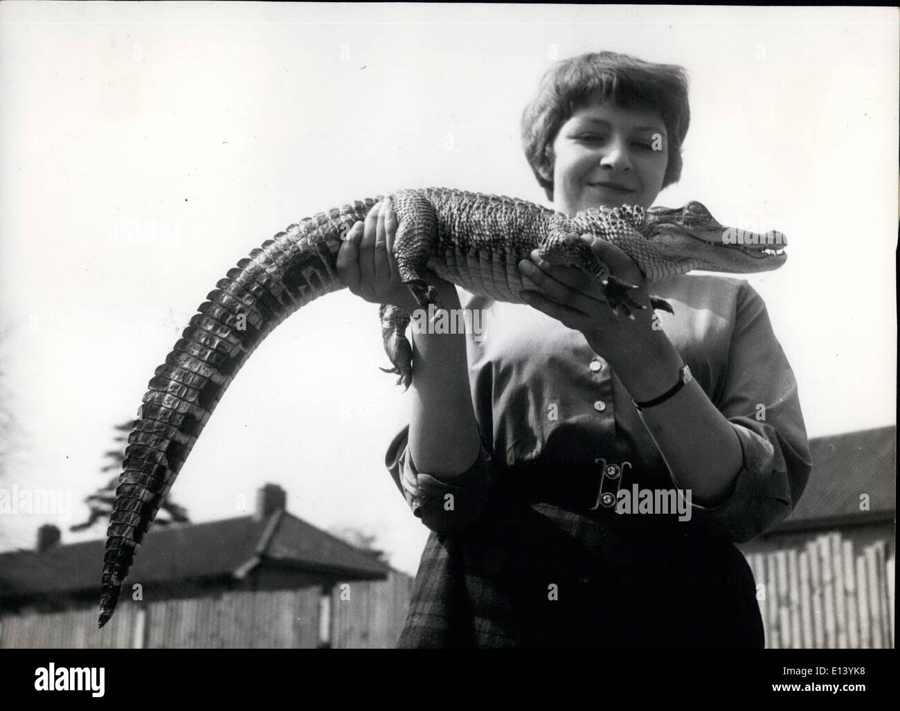 Mar. 27, 2012 - Meet Mr. Murgatroyd : Anne Kindler is finding her pet alligator, Murgatroyd gets heavier eachg week. Already he's three feet - and -a - bit leng. But he's oh. so tame and friendly, and just loves a tickle on his tummy. - Stock Image