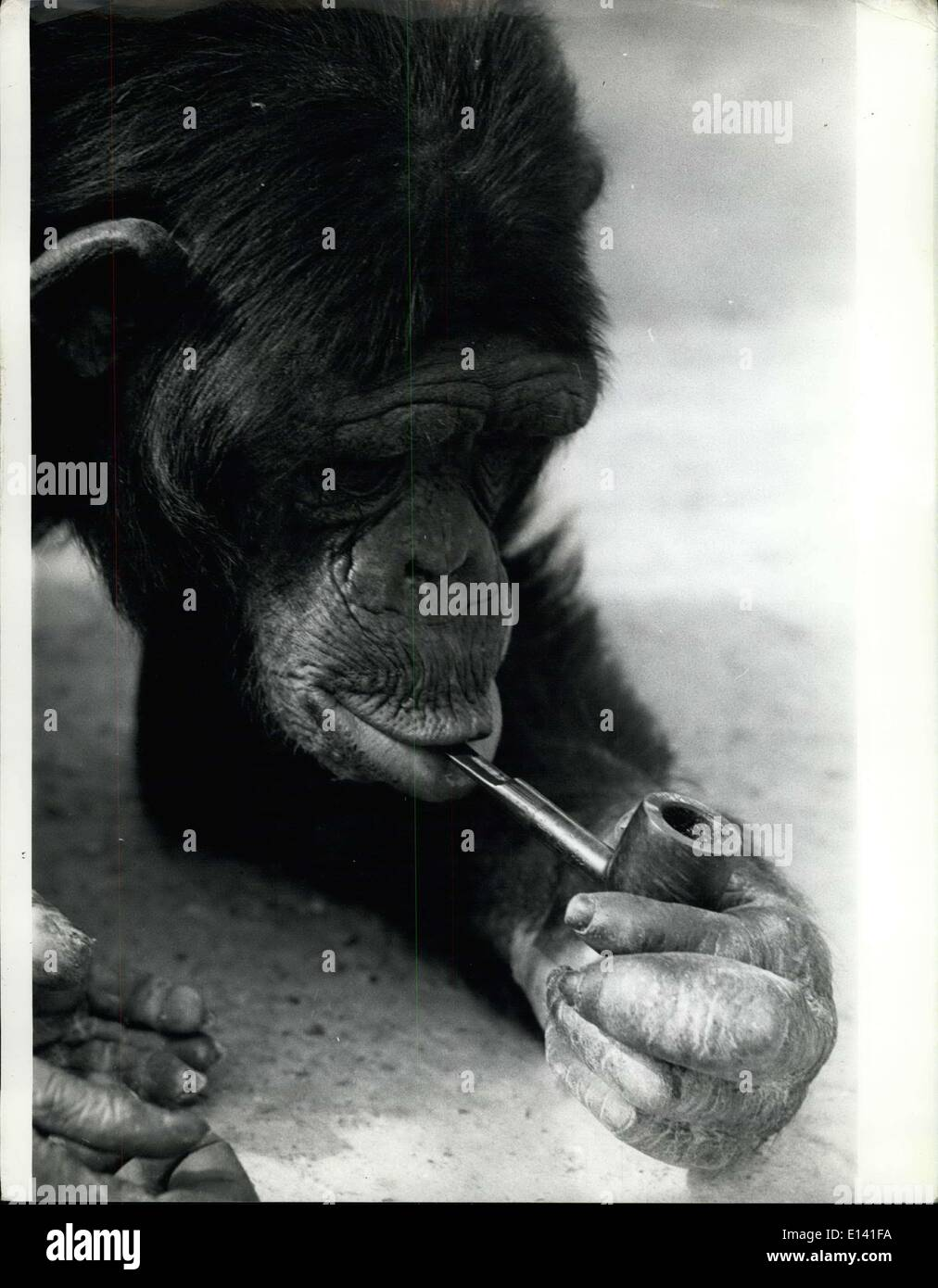 Mar. 31, 2012 - William, 20 year old Chimpanzee, has been a pipe man for nearly 15 yrs. The Zoo owner had tried to wean him from it, But he becomes a miserable old man. - Stock Image
