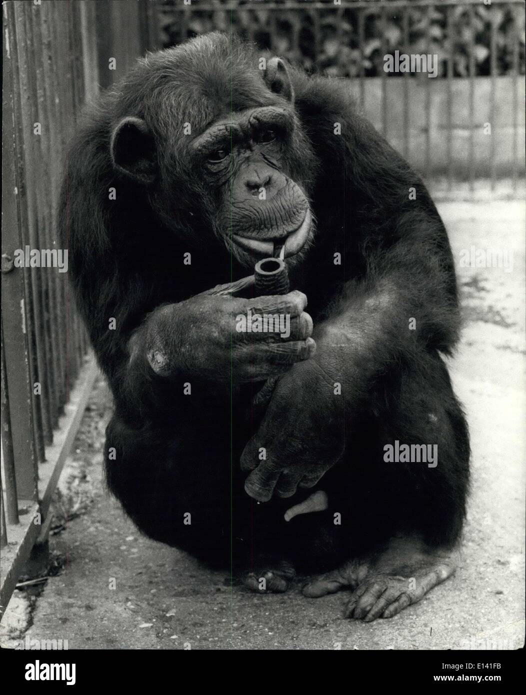 Mar. 31, 2012 - A Pipe's a Man's Best friend.: Williiam, 20-year old Chimpanzee at Cromer Zoo, has been a pipe man for nearly fifteen years. Since the anti-smoking campaign has gained strength in recent years, zoo Owner Mrs. Olga Kerr, has done her bestto wean his off the habit, but so far without much success. Without his best pal William just seems to pine and bedome a miserable old man: but with his favourite wood between his teeth, he's as happy as a sand boy! Once he did try a cigarette, but when he started to eat it, the trial discountinued quite rapidly! - Stock Image