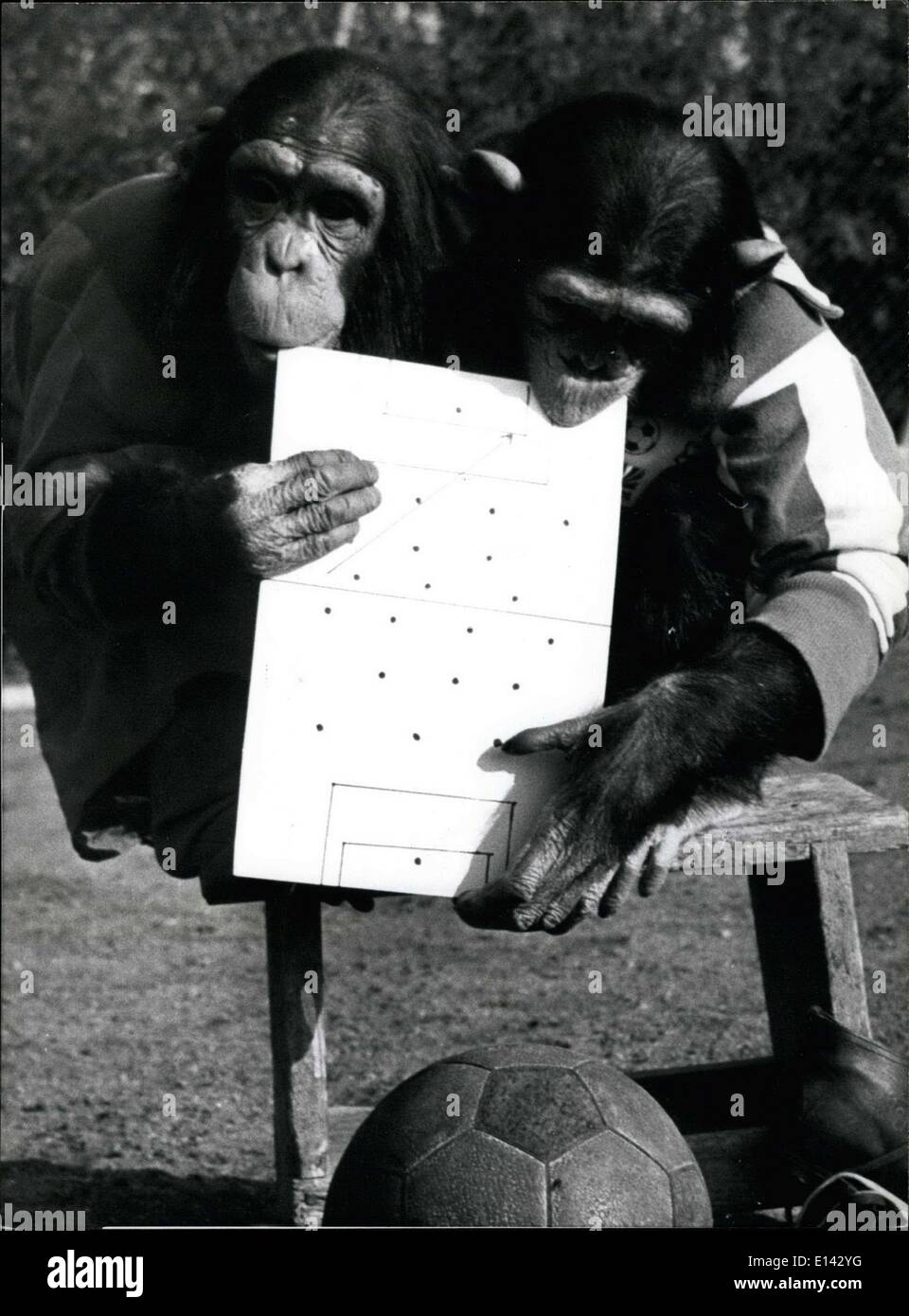 Mar. 31, 2012 - High level strategy talks before the game.The World Cup May Be Over, Bout Not For The Chimps: Monkey business caries on football, season or not. These two chimpanzees from the Munich Zoo in Hallabrunn, Germany, would still be happy to be football's new Superstars. Of Course football should be played with the feet, not the hands, but we'll overlook that and forgive the chimps it they're not the World's best players. But they make excellent goalkeeper, with the added advantages of using all-fours! - Stock Image