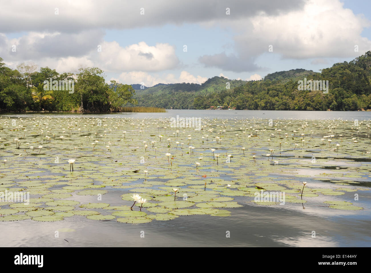 Aquatic flowers at isla de las flores on river Dulce near Livingston on Guatemala - Stock Image