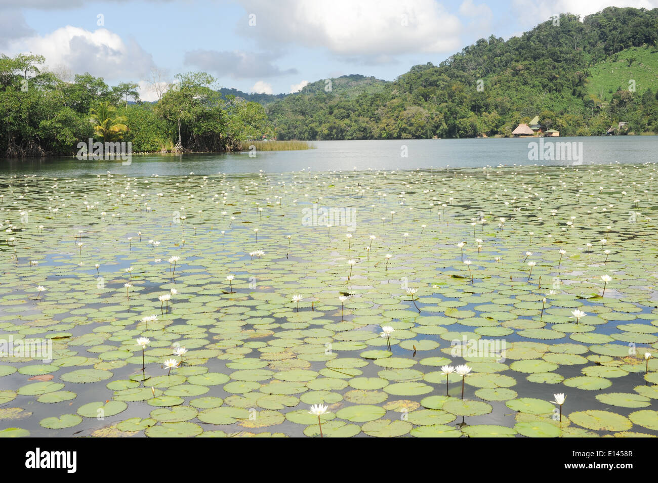 Aquatic flowers at isla de las flores on river Dulce near Livingston on Guatemala - Stock Image