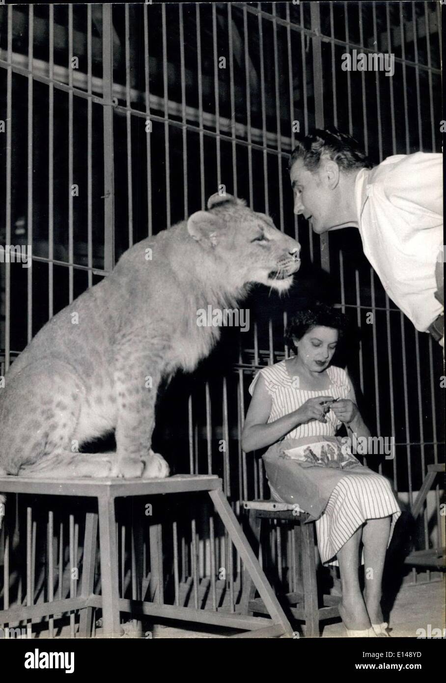Apr. 17, 2012 - Congolese Spotted Lion being trained for a circus act. - Stock Image