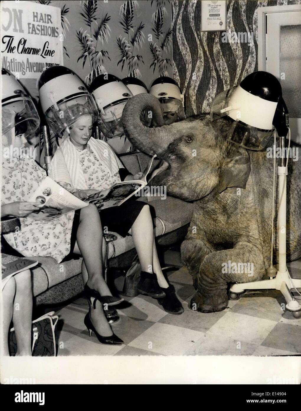 Apr. 17, 2012 - The Coiffeur-Conscious Pachyderm: Enough to make any coiffeur's client's hair curl without his intervention it was. As circus time nears Tamu, baby of the Gosta Kruse elephants from Bertram Mills Circus, feels it's high time he should be spruced up the 'little' chap can't bear to be left alone when Mrs. Joad Kruse goes anywhere-even the hairdressers. And so yesterday when she went to Don Hair Stylists in Edgeware, Tamu went with her, not only for company, but to have his bristly hair attended to. Although the atmosphere was slightly warm, not one of Mr - Stock Image