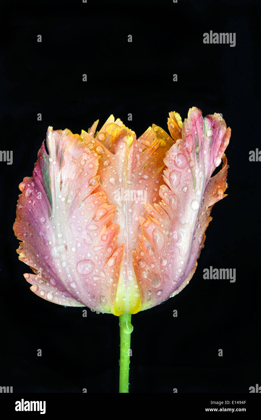 Tulip in flower with raindrops - Stock Image
