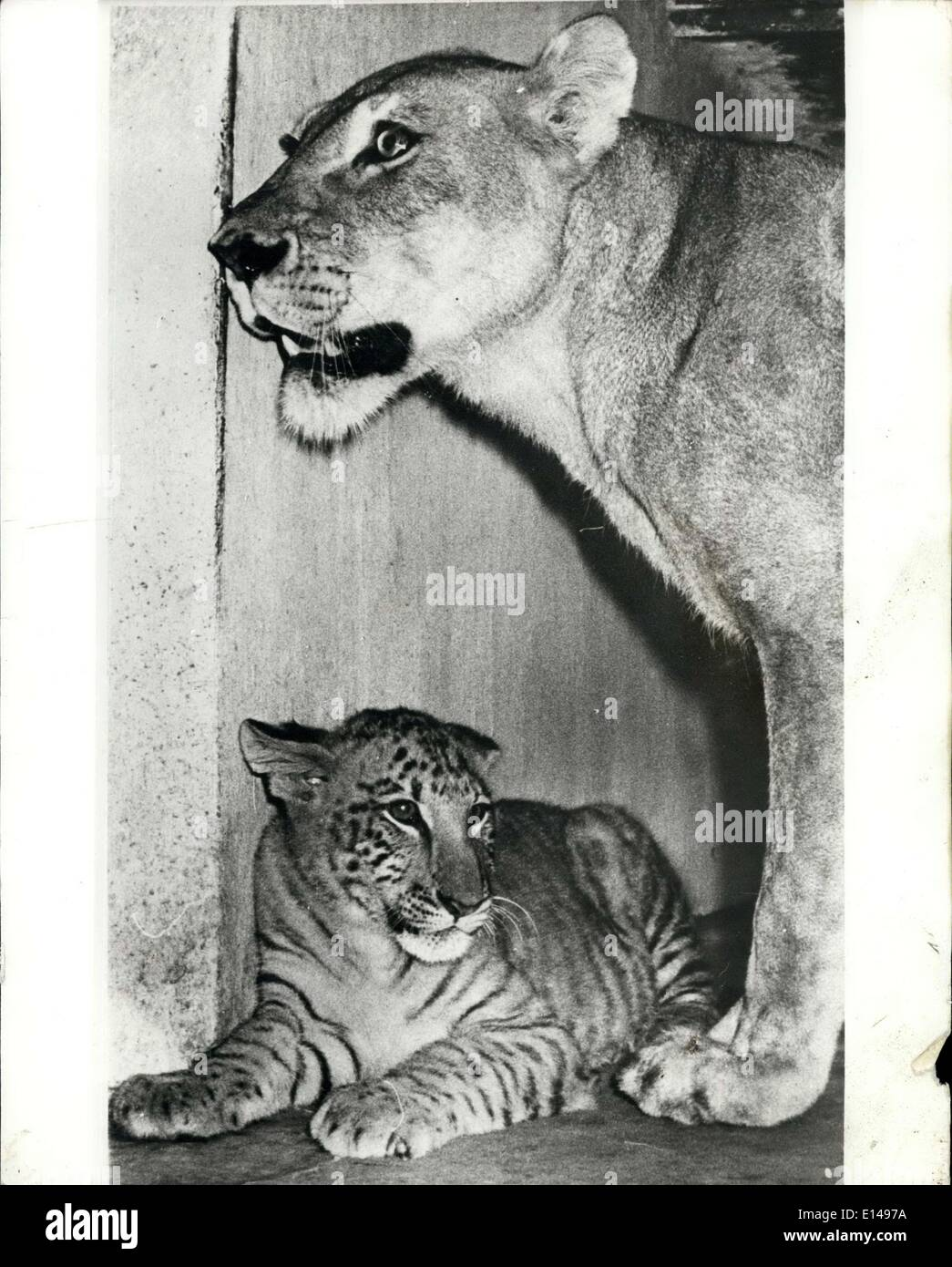 Apr. 17, 2012 - Calcutta zoo's Tigon : The Tigon is a product of mating a tiger and a lioness -and after several Stock Photo