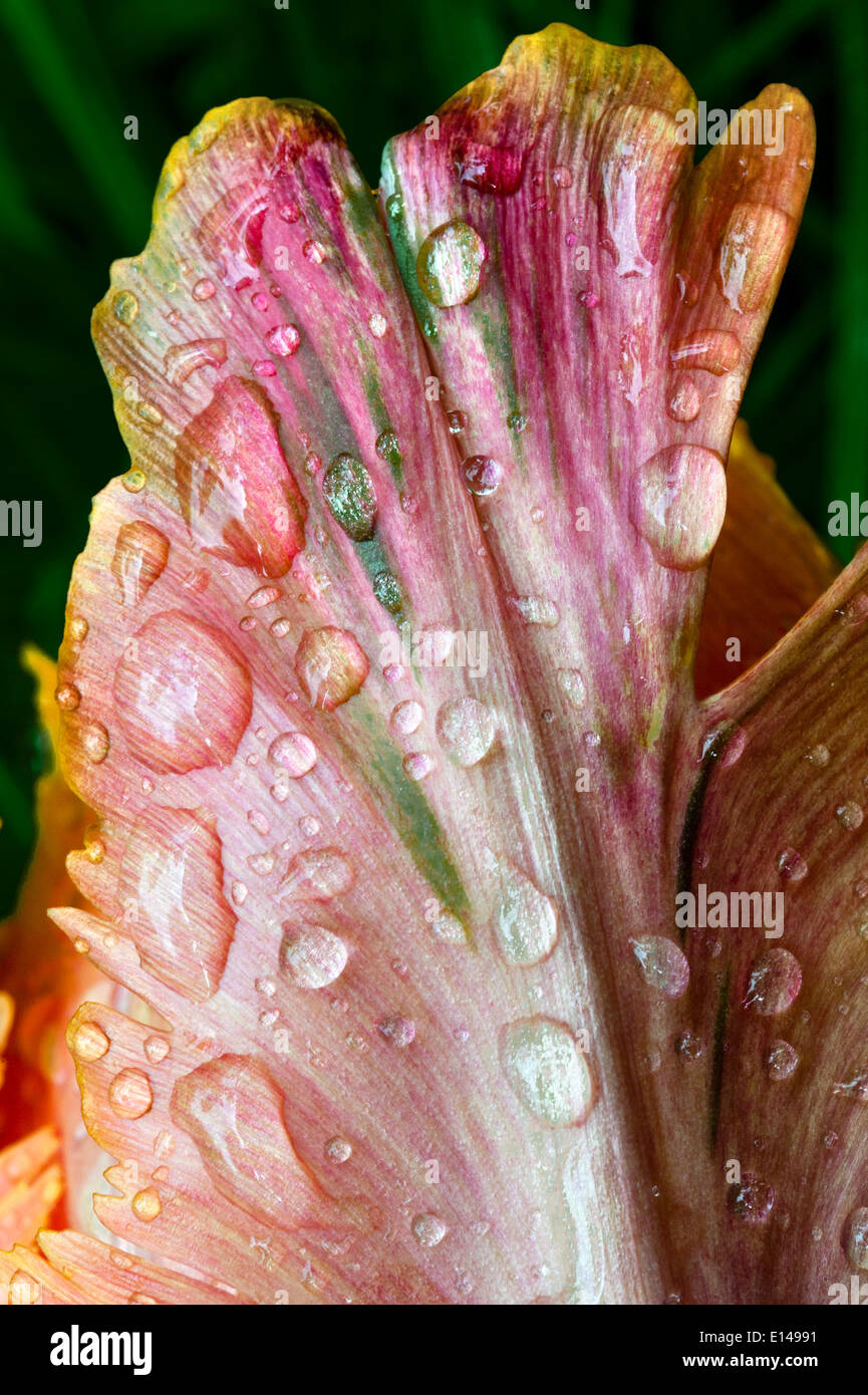 Closeup of a tulip flower with raindrops - Stock Image