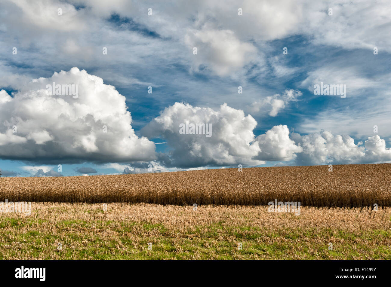 A partly cut crop of barley on top of Stonewall Hill on the border between Wales and Herefordshire - Stock Image