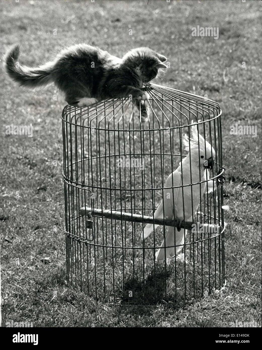 Apr. 17, 2012 - With one claw inside the cage, J.C. gets ready to blabber inside for a ''cat and mouse'' game with his friend he cockatoo. - Stock Image