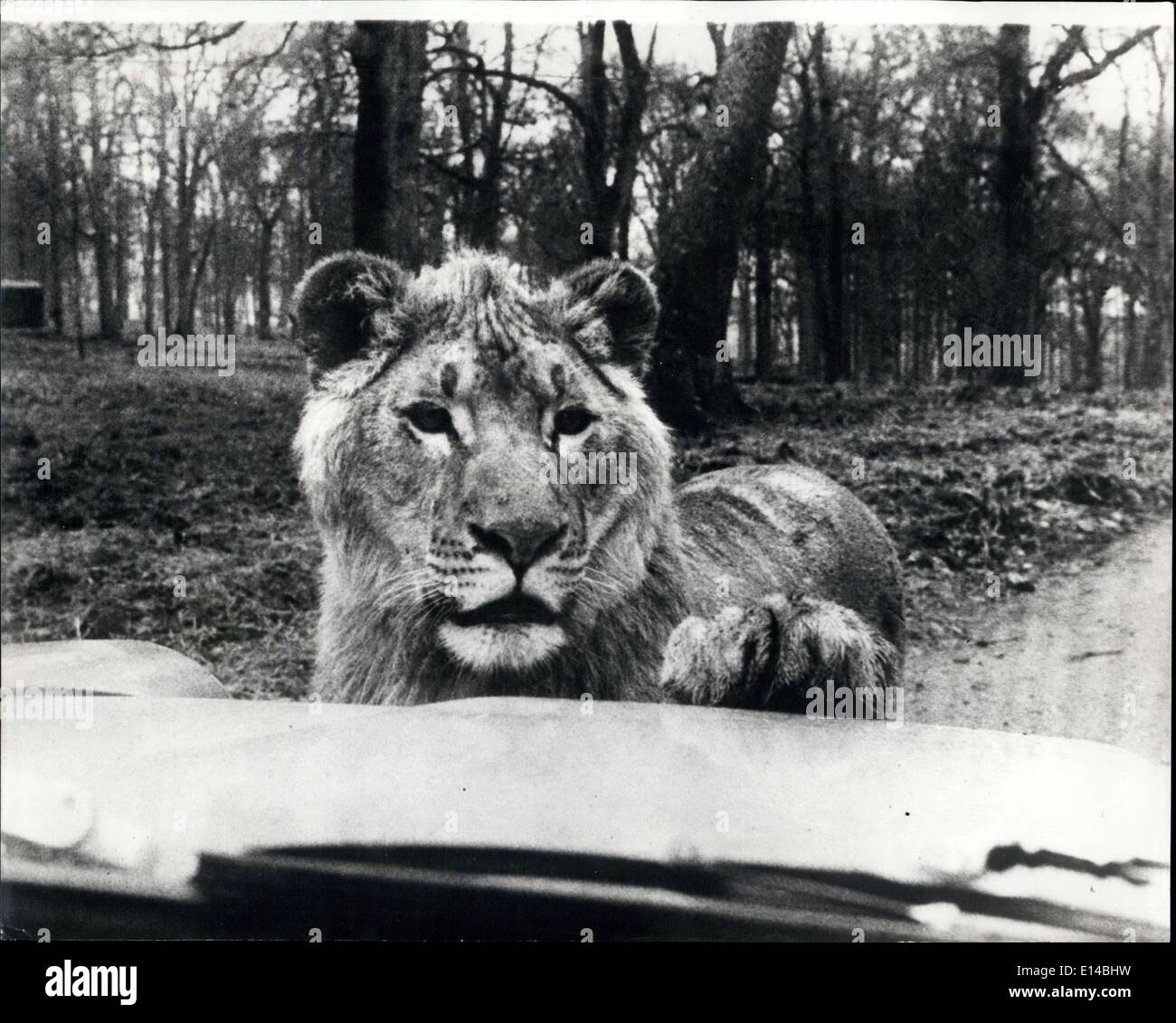 Apr. 17, 2012 - Motorists nightmare: What motorists wouldn't stand against at this frightening spectacle a suspicious lion peering through the windscreen. In this instance the nightmare is seen taking place at Lion Country Safari, a popular new animal reserve at Palm beach, Florida. Motorists driving through the reserve are warned to keep the car windows up and with good reason. - Stock Image