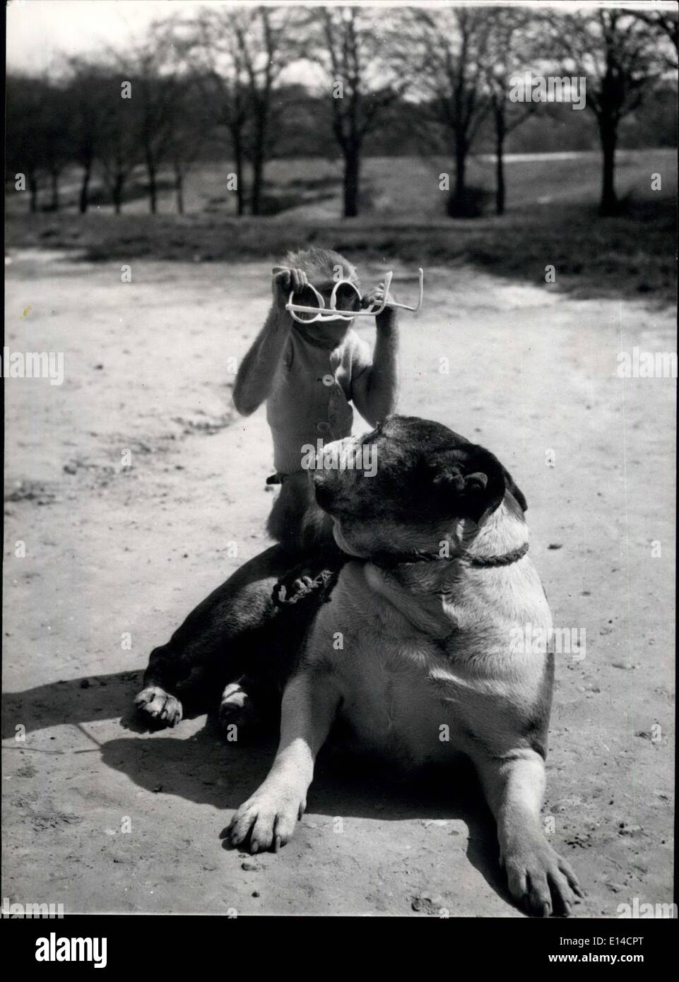 Apr. 17, 2012 - Go on with you. They're the wrong way round: Rocky the bulldog, enjoys playing with his Pal Jenny, the Rhesus monkey on Hampstead Heath, near their home. A pair of sunglasses keeps them amused for a long time. - Stock Image